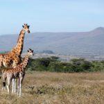 動物で一番背の高いキリン!子供も大きいの?身長はどれくらい?