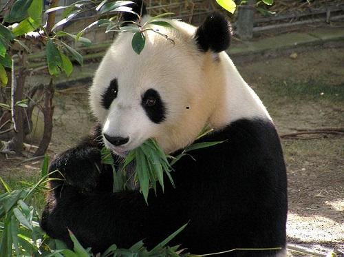 パンダ レッサーパンダ 違い