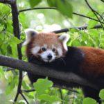 レッサーパンダが絶滅危惧種に選ばれる原因や対策方法について
