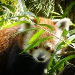 レッサーパンダの分布や生息地について