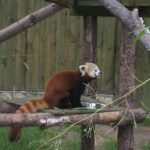 レッサーパンダとアライグマとタヌキの違いについて