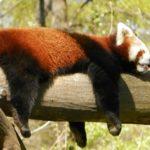 レッサーパンダの特徴や大きさについて