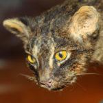 イリオモテヤマネコの飼育について。ペットとして飼っていいの?