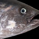 クロマグロの漁獲量の推移や都道府県別のランキング!