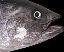 クロマグロ 漁獲量 推移 都道府県
