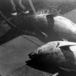 クロマグロが絶滅危惧種に指定された原因や対策方法について