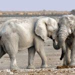 日本でのアフリカゾウの繁殖は難しい!?