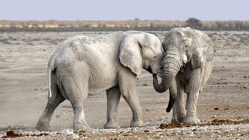 アフリカゾウ 日本 繁殖
