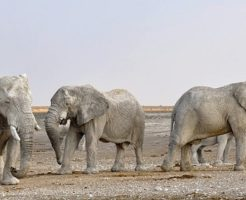 アフリカゾウ 性格
