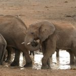長生き!?アフリカゾウの平均寿命について