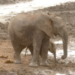 アフリカゾウの赤ちゃんの大きさや体重ってどれくらい!?