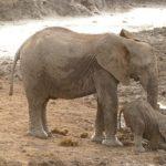アフリカゾウとインドゾウの大きさや違いについて