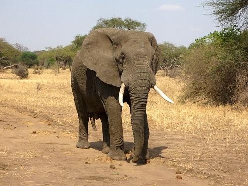 アフリカゾウ オス メス 違い