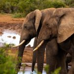 アフリカゾウとアジアゾウやインドゾウの交配って可能なの!?