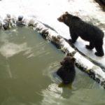 エゾヒグマの冬眠方法や冬眠の時期について