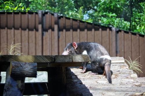 タスマニアデビル 日本 動物園