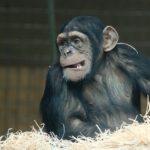 チンパンジーの名前の由来や学名、英語について