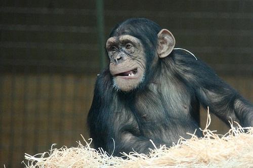 チンパンジー 名前 由来 学名 英語