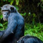 チンパンジーの頭蓋骨の特徴について