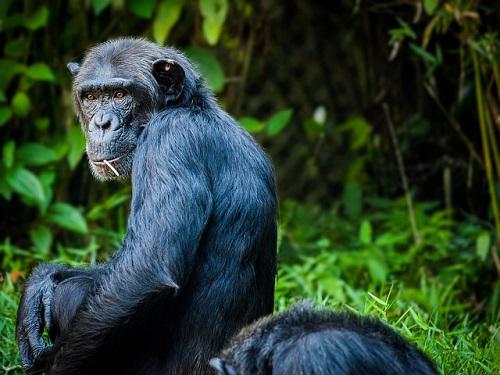チンパンジー 頭蓋骨 特徴