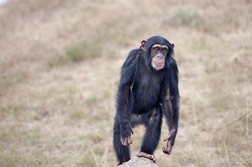 チンパンジー 野生 日本
