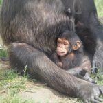 チンパンジーの赤ちゃんの大きさや体重、特徴について