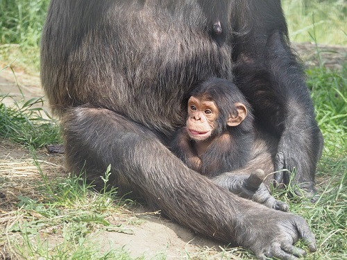 チンパンジー 赤ちゃん 大きさ 体重