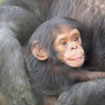 チンパンジーとボノボやゴリラの交配って可能なの!?