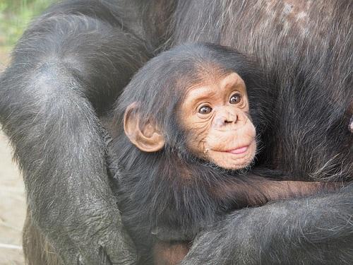 チンパンジー ボノボ ゴリラ 交配