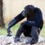 チンパンジーとオランウータンの違いや知能について
