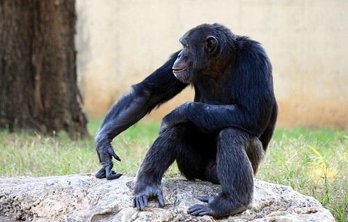 チンパンジー オランウータン 違い 知能