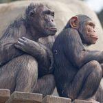 チンパンジーの年齢を人間に換算すると!?大人は何歳から?