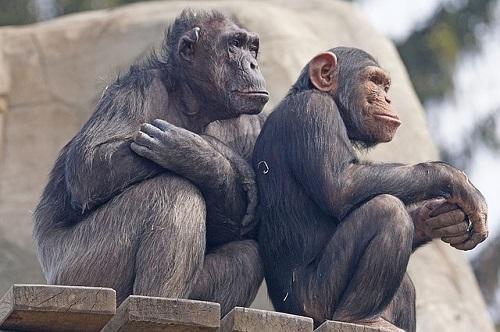 チンパンジー 年齢 人間 大人 何歳