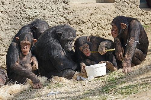 チンパンジー 大人 凶暴 理由
