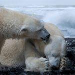 ホッキョクグマはなぜ北極に生息してるの?南極にいないのはなぜ?