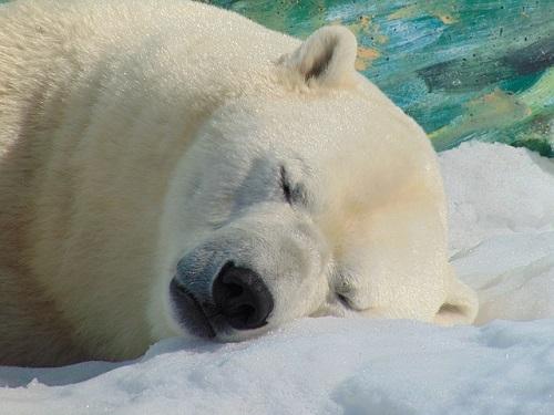 ホッキョクグマ 冬眠 場所 時間