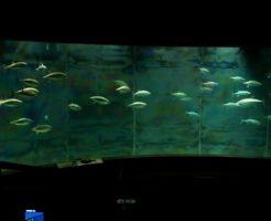 クロマグロ 幼魚 異名