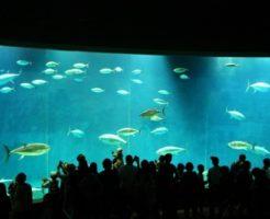 クロマグロ 展示 水族館