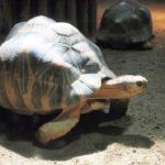 ホウシャガメの繁殖!産卵時期について