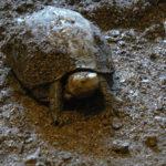 セマルハコガメの飼育。冬眠の方法について