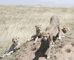 チーター 子供 狩り