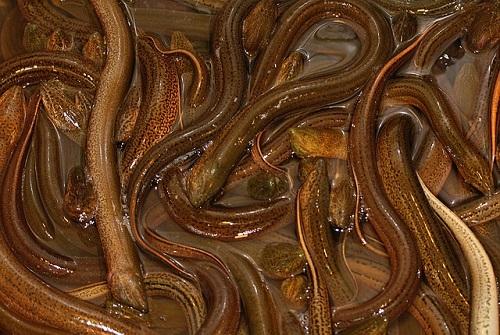 ニホンウナギ 漁獲量 推移
