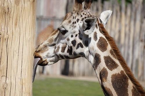 キリン 舌 長い 理由 収納