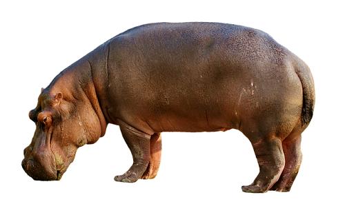 イルカ 祖先 カバ