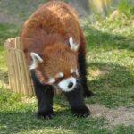 レッサーパンダが飼育されている動物園ってどこ!?