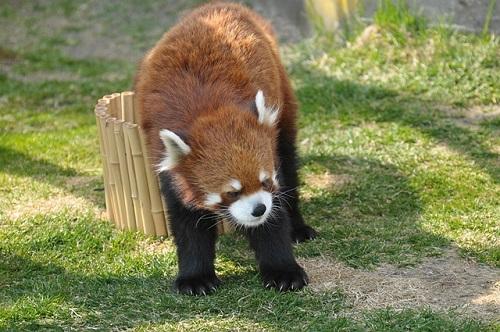 レッサーパンダ 飼育 動物園
