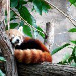 レッサーパンダのしっぽの特徴や色について