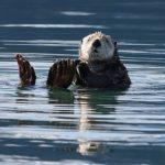 ラッコは貝や海藻を餌として食べる!?なぜ!?