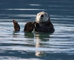 ラッコ 貝 海藻 食べる 量