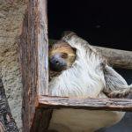 ナマケモノの飼育方法。餌や餌の量について